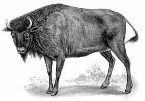 Африканский буйвол Synceros caffer
