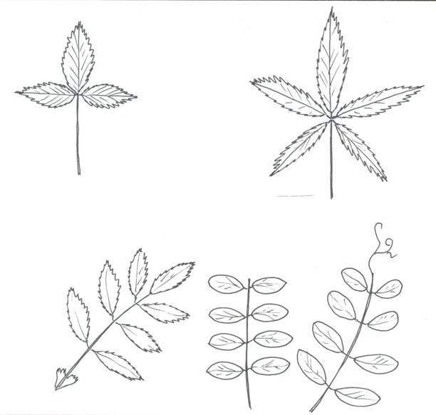 Картинки простые и сложные листья примеры картинки