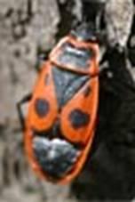 Pyrrhocoris apterus - Красноклоп бескрылый