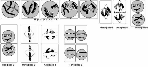 Метафаза мейоза рисунок