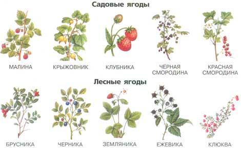 картинки лесные ягоды для детей с названиями