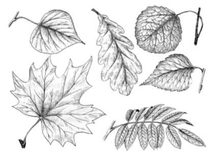 ведомстве листья клена дуба березы рябины рисунки приготовления этого десерта