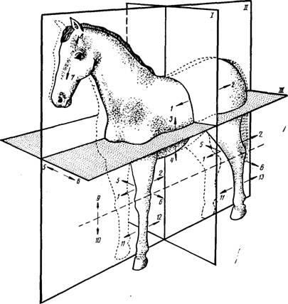 Лопатка коровы анатомия