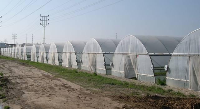 Промышленная теплица для выращивания клубники 770