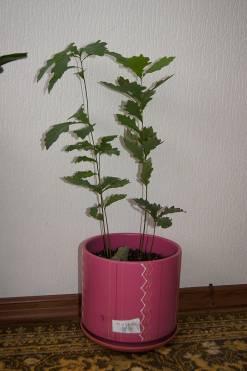 Почва для выращивания дуба 63