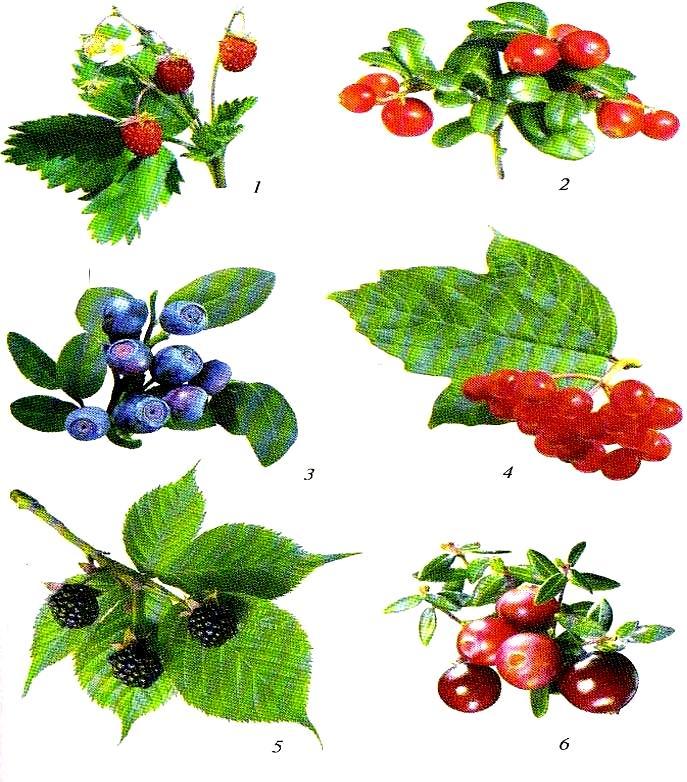 Рисунки лесных ягод и грибов
