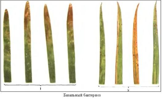 Курсовая работа по сельскохозяйственной энтомологии и  Возбудитель pseudomonas syringae pv atrofaciens young et al pseudomonas atrofaciens stevens