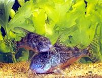 Аквариумная рыбка сомик крапчатый