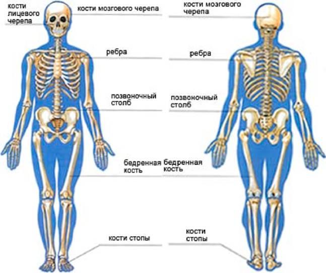Доклад на тему скелет опора тела 4460