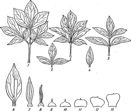 строение цветка ромашки схема