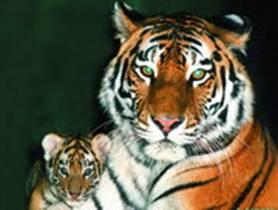 Реферат по биологии амурский тигр 1906