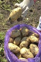 Картошка3