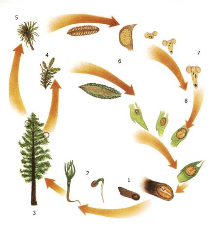 Жизненный цикл растений - Дистанционные уроки