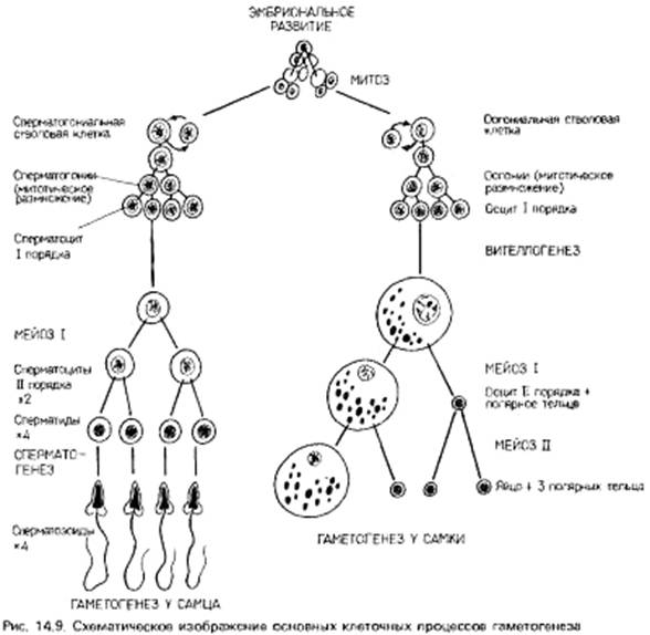 Как усилить сперматогенез