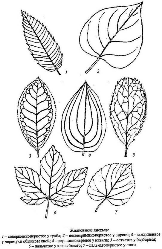 что за дерево по листьям является сплошная