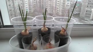 Проект на тему как выращивать зеленый лук для 3 класса