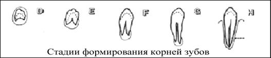 Формирование корней зубов заканчивается 14