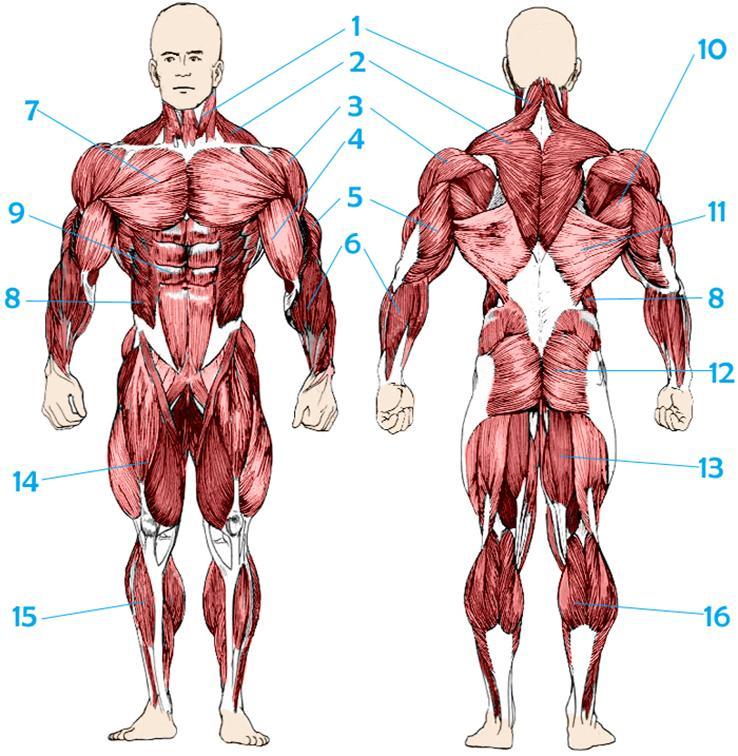 мышцы человека в картинках конце года она