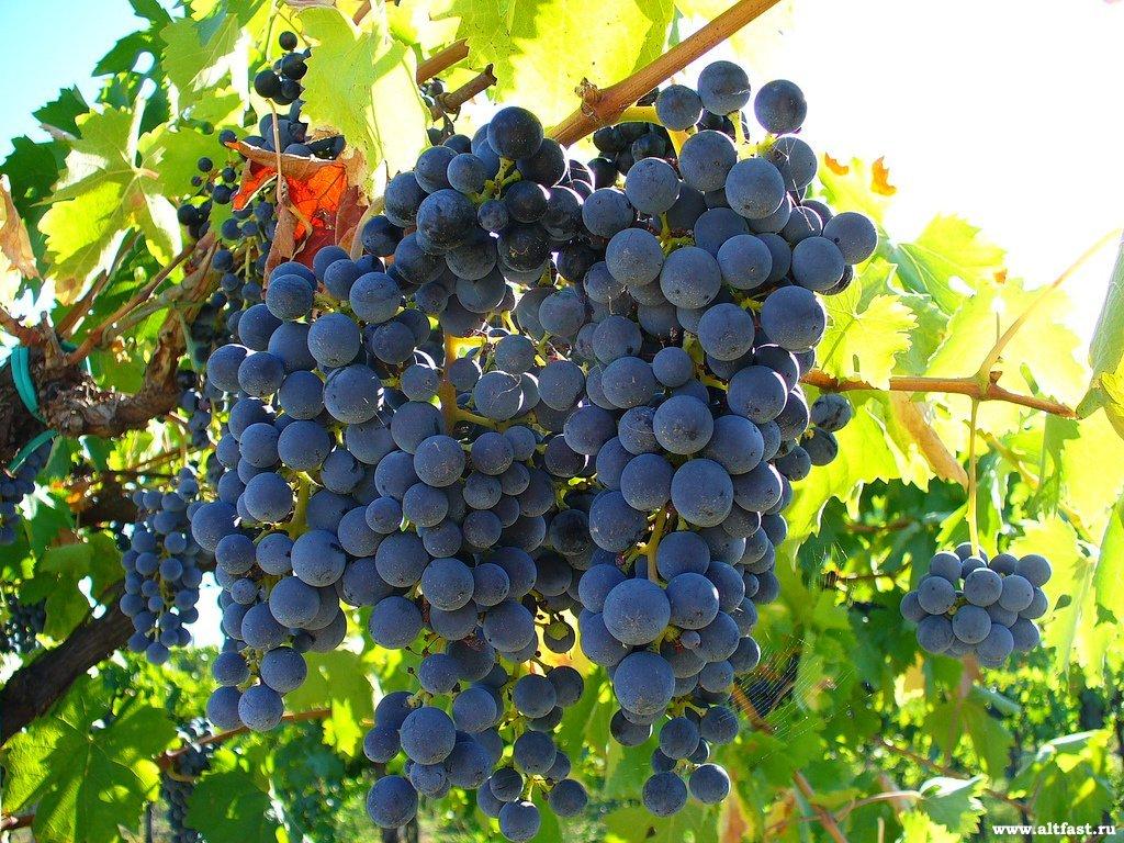 Реферат на тему виноград 1015