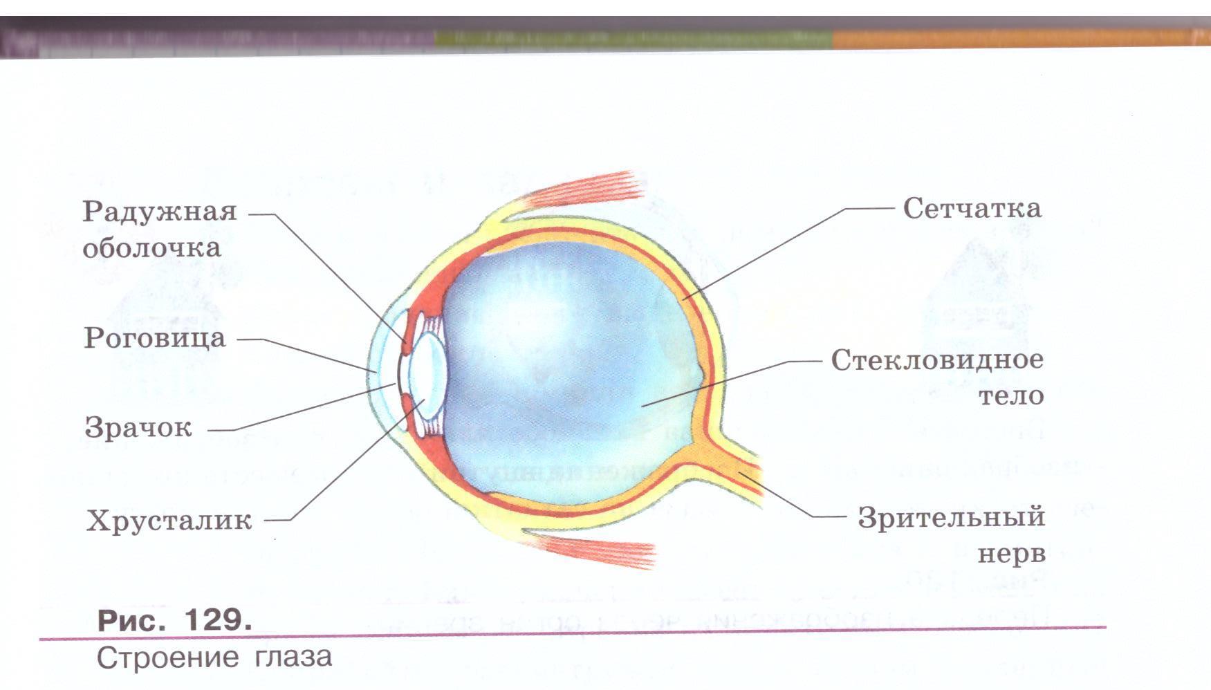 Схема строения глаза человека в хорошем качестве приложении его