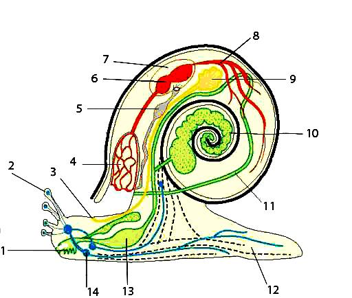 Моллюски строение картинка