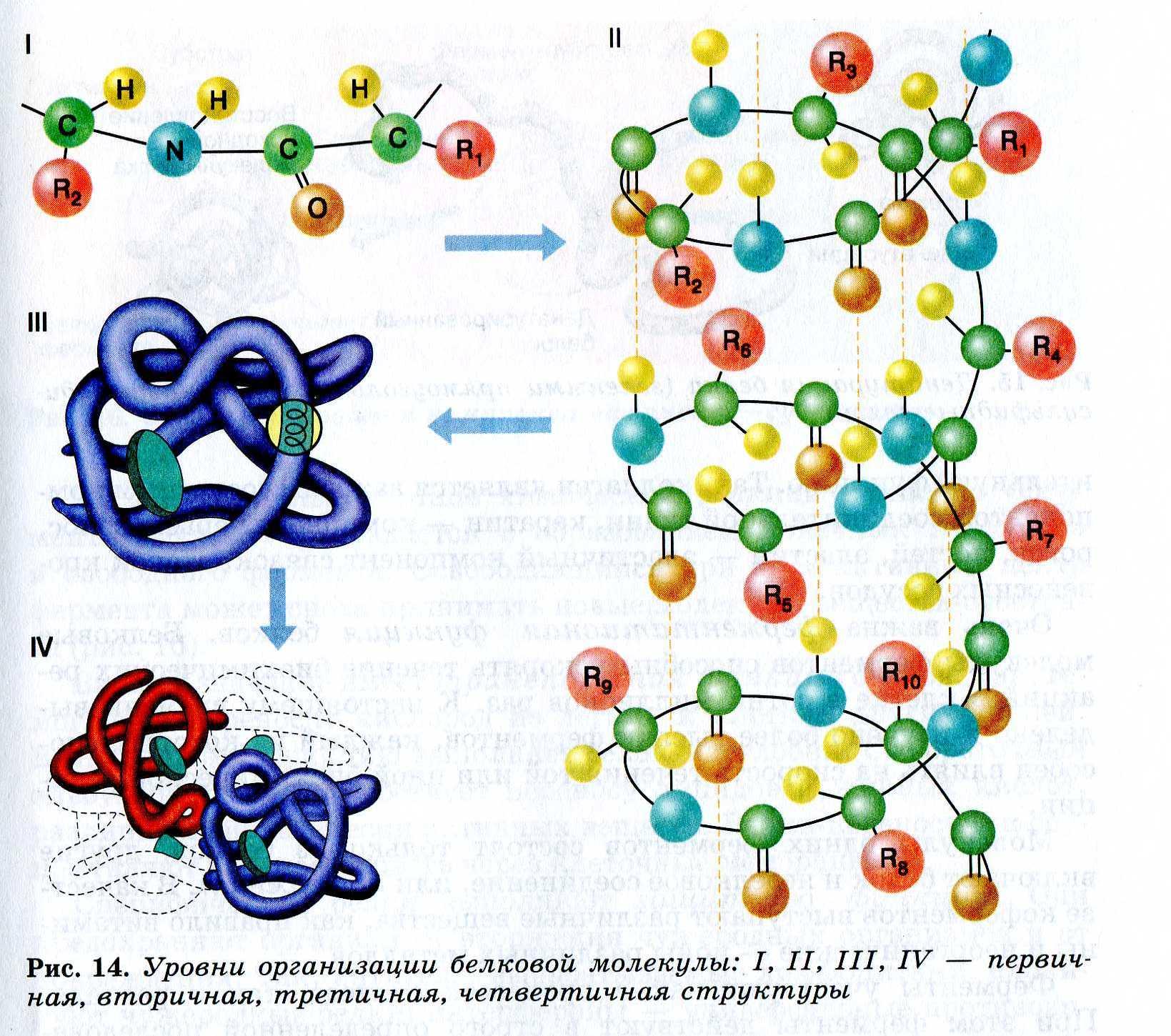 структура белка картинки