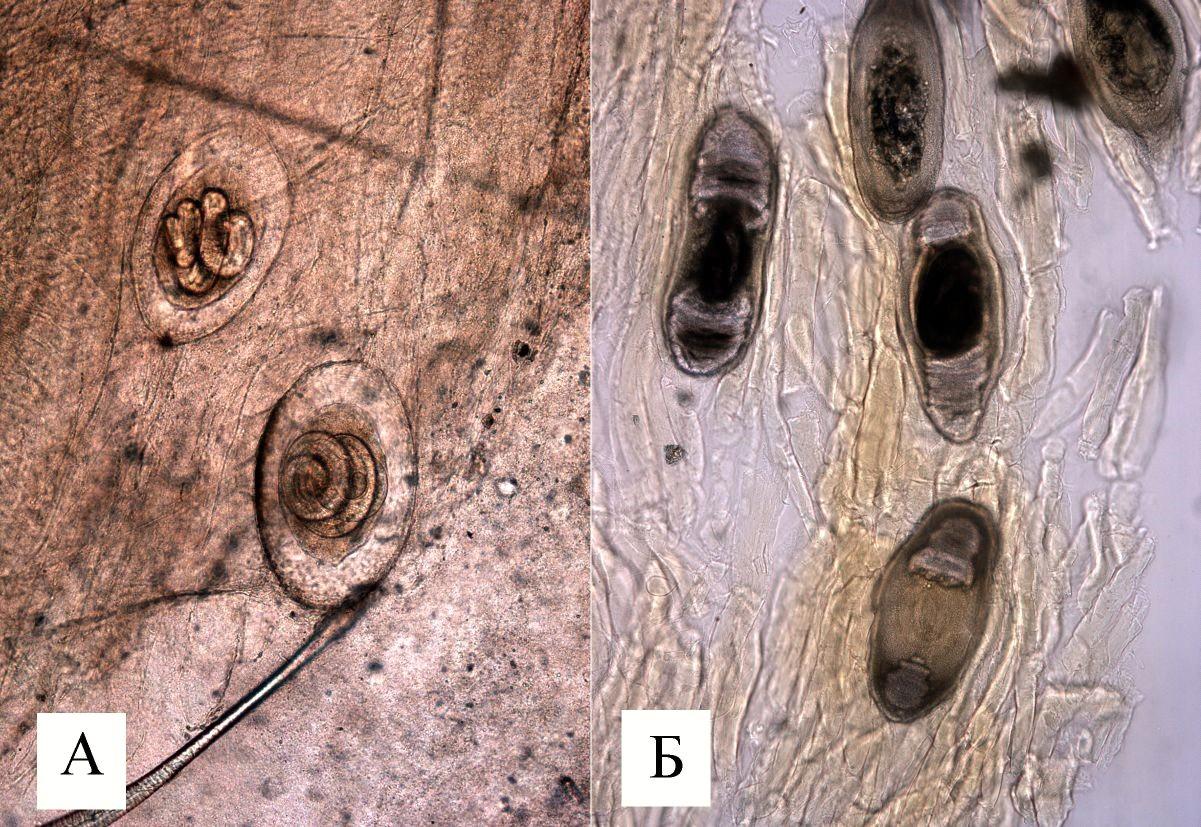 трихинеллез животных картинки головку чеснока