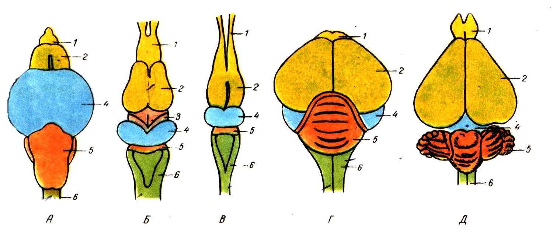 система головного мозга у птицы картинки часто переезжала города