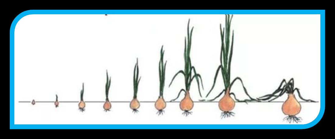 картинки детям как сажать лук маринованный